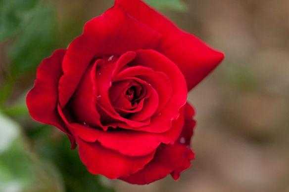 800px-Rose,_Konrad_Henkel