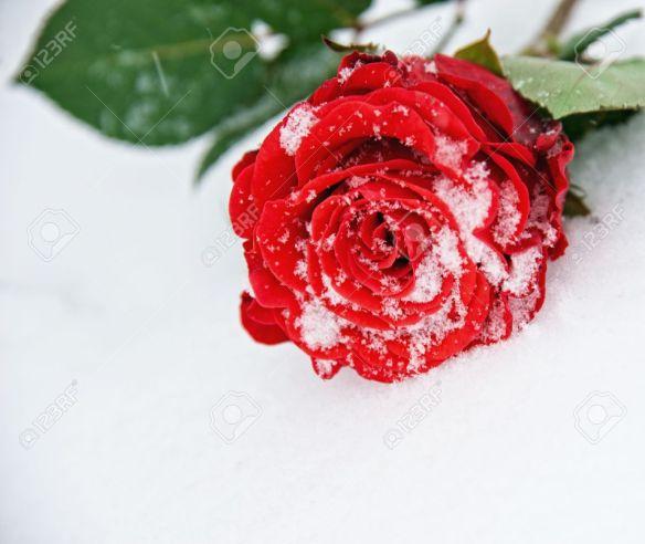 9025645-Wundersch-ne-Rose-im-Schnee-Lizenzfreie-Bilder