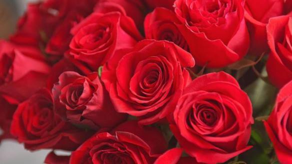 Detailaufnahme von vielen roten Rosen