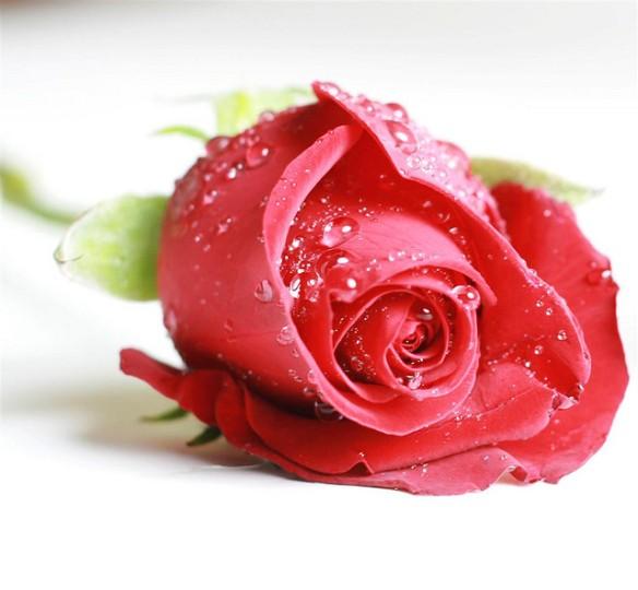 red-rose-8