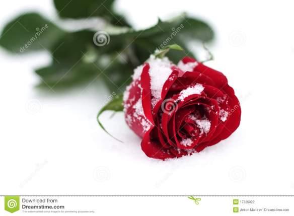 rote-rose-im-schnee-17325322