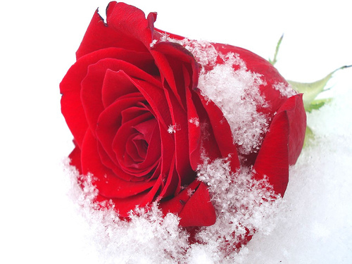schnee_rose