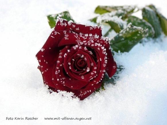 trauer--rose-im-schnee--karin-roscher