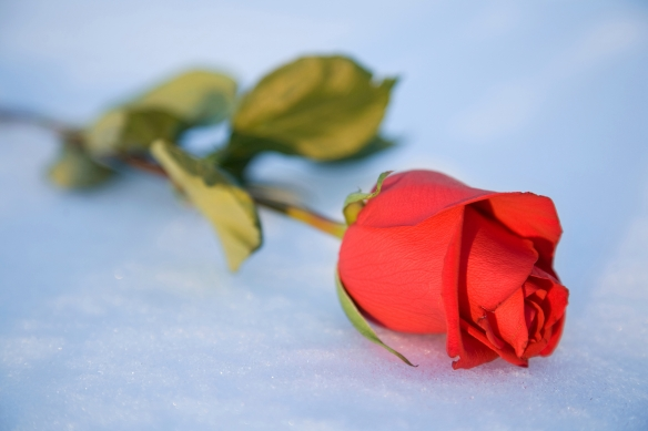 rose-on-ice-1